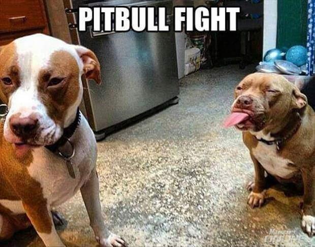 pitbull_fight